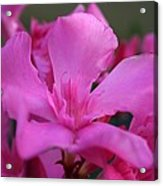 Pink Oleander Flower With Green Leaves In The Background   Acrylic Print