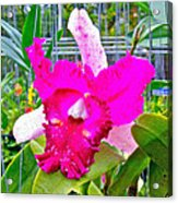 Pink Orchid At Maerim Orchid Farm In Chiang Mai-thailand Acrylic Print