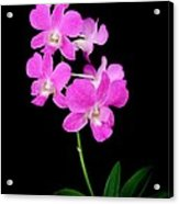 Pink Orchids 9 Acrylic Print