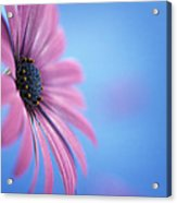 Pink Osteospermum Flower On Blue Acrylic Print