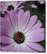 Pink Osteospermum Acrylic Print