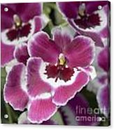 Pink Pansy Orchid Acrylic Print