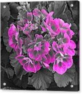 Pink Paridise Acrylic Print