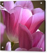 Pink Passion Acrylic Print