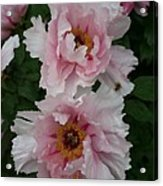 Wild Pink Peony  Acrylic Print