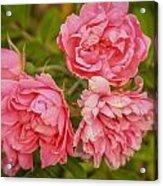 Pink Peonies Acrylic Print