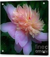 Pink Peony Flower Acrylic Print