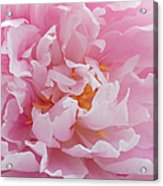 Pink Peony Flower Waving Petals  Acrylic Print