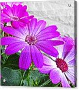 Pink Perciallis Ragwort Flower Art Prints Acrylic Print