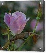 Pink Perfection Acrylic Print