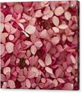 Pink Petal Acrylic Print