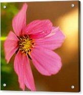 Pink Petals Acrylic Print by Alexandra  Rampolla