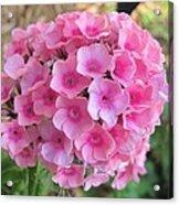 Pink Phlox 2 Acrylic Print