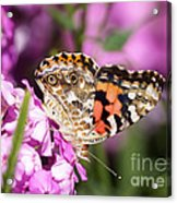 Pink Phlox With Butterfly Acrylic Print