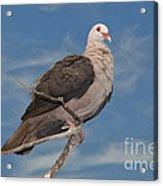 Pink Pigeon Acrylic Print
