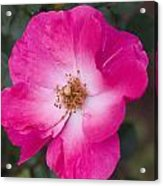 Pink Pink Acrylic Print
