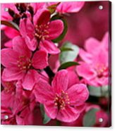 Pink Plum Blossoms Acrylic Print