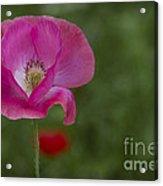 Pink Poppy. Acrylic Print