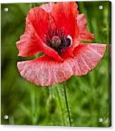 Pink Poppy Flower Among The Green Background Acrylic Print