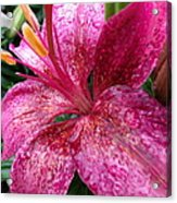 Pink Rain Speckled Lily Acrylic Print