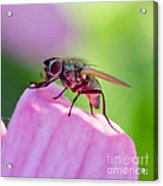 Pink Reflection On Flies Body. Acrylic Print