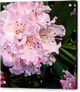 Pink Rhodies Acrylic Print