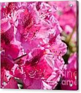 Rhododendron Called Azalea Bright Pink Flowers  Acrylic Print