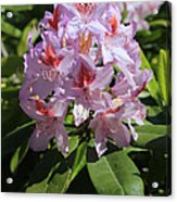 Pink Rhododendron In Sunshine Acrylic Print