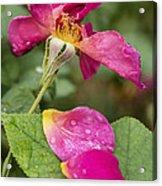 Pink Rose And Its Petals Acrylic Print
