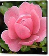 Pink Rose Bloom Acrylic Print