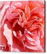Pink Rose Closeup Acrylic Print