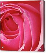 Pink Rose Dof Acrylic Print