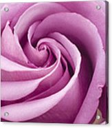 Pink Rose Folded To Perfection Acrylic Print