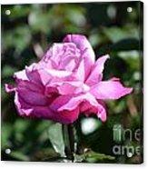 Pink Rose Garden Acrylic Print