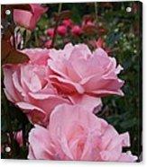 Pink Rose Group I Acrylic Print