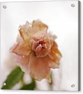 Pink Rose In Snow Acrylic Print