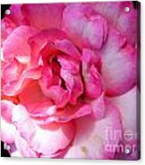 Rose With Touch Of Pink Acrylic Print