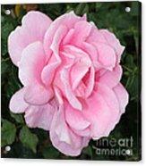 Pink Rose Square Acrylic Print