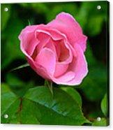 Pink Rose Volunteer Acrylic Print