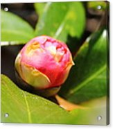 Pink Rosebud Acrylic Print