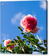 Pink Roses - Featured 3 Acrylic Print