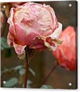Pink Roses In The First Snow Acrylic Print
