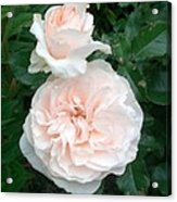 Pink Roses Love And Passion Acrylic Print