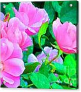 Pink Roses Acrylic Print
