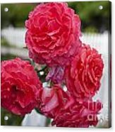 Pink Roses White Picket Fence Acrylic Print