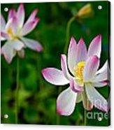 Pink Sacred Lotus Acrylic Print