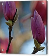 Pink Saucer Magnolia IIi Acrylic Print
