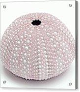 Pink Sea Urchin White Acrylic Print