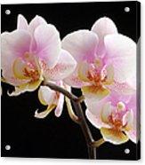 Pink Sensations Acrylic Print