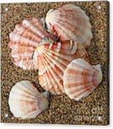 Pink Shells Acrylic Print